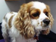 Riley is an adoptable Cavalier King Charles Spaniel Dog in Osseo, MN. We would like to explain that if you are looking for a perfect dog, they are rarely found in rescue. Our dogs often have unknown h...