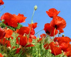 Red Poppy (Papaver Rhoeas) – The Red Poppy is one of the most popular wildflower… - Modern Language Of Flowers, Red Poppies, Memorial Day, Wild Flowers, Poppy Flowers, Blooming Flowers, Beautiful Flowers, Elegant Flowers, Beautiful Wall