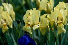 Iris pumila citrina