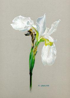 White Iris - by Mark Granlund