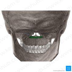 Palatine Bone, Atlas, Skeletons, Dentistry, Skulls, Bones, Dental, Dice, Legs