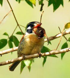 Foto joão-bobo (Nystalus chacuru) por Josiel Briet | Wiki Aves - A Enciclopédia das Aves do Brasil