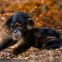baby chimpanzee i think, not a bonobo