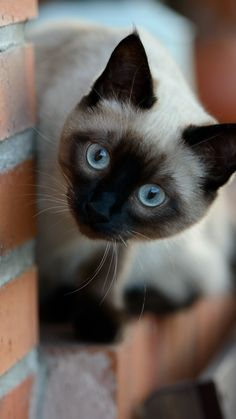 I am Siamese if you please,