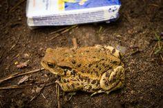 Big Toad (Bufo bufo) Toad, Big, Nature, Animals, Reptiles, Dart Frogs, Animales, Animaux, Naturaleza