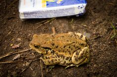 Big Toad (Bufo bufo)