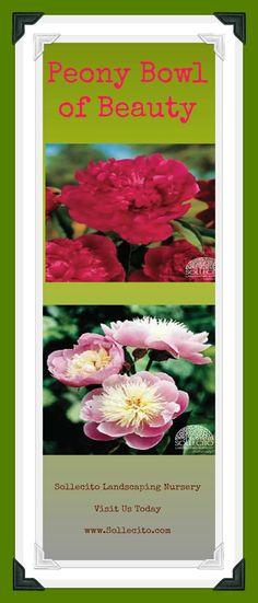 www.Sollecito.com -Peony Bowl of Beauty. #LandscapingNursery #Garden #Flowers