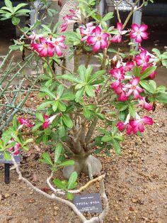 Adenium Obesum Desert Rose Plant http://www.guzmansgreenhouse.com/desert-shrubs/desert-landscape.htm