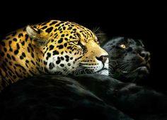 Un leopardo y una pantera negra posan juntos. (Foto: Pedro Jarque Krebs/Caters News)