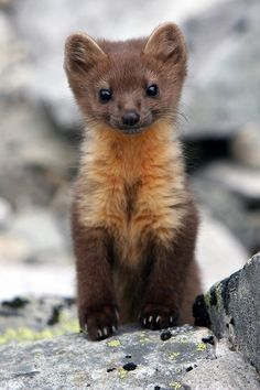 Baby Pine Marten - a rare Scottish animal, but not so rare around Algys home! Check out those claws - in the adults they are vicious, and rip anything to shreds. Cute Creatures, Beautiful Creatures, Animals Beautiful, Woodland Creatures, Beautiful Birds, Cute Baby Animals, Animals And Pets, Funny Animals, Wild Animals