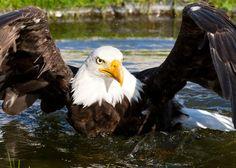 Weißkopfseeadler auf der Adlerarena Burg Landskron in Kärnten - Nähe Villach am Ossiacher See bei einer Flugschau. In einer rund 40-minütigen Vorführung erleben Sie unsere frei am Himmel fliegenden Greifvögel im Aufwind der berühmten Burg Landskron. Nach atemberaubenden Flügen kehren die Vögel zum Falkner, der unmittelbar vor Ihnen steht, zurück. Verhalten und Lebensgewohnheiten dieser zum Teil bedrohten Tiere werden ausführlich erläutert. Birds Of Prey, Bald Eagle, Animals, Pictures, Villach, Road Trip Destinations, Bowties, Animales, Animaux