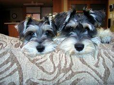 two beauties, Shiraz and Merlot. Mini Schnauzers.