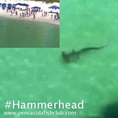 Large Hammerhead Shark Swims Along Shore of Navarre Beach, FL