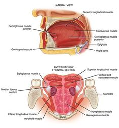Muscles of Speech Production: Face and Tongue - Communication Sciences And Disorders 4213 with Aulgar at Oklahoma State University - Stillwater - StudyBlue Dental Anatomy, Medical Anatomy, Human Anatomy, Tongue Muscles, Human Muscular System, Human Tongue, Newborn Nursing, Anatomy Images, Muscle Anatomy