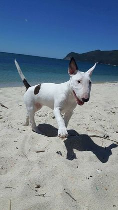 See our exciting images. Find more information on Labrador Retriever Puppies. Click the link for Mini Bull Terriers, Miniature Bull Terrier, English Bull Terriers, Bull Terrier Dog, Cute Dogs Breeds, Best Dog Breeds, Best Dogs, Perros Bull Terrier, Bully Dog