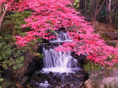 Bonsai ACER PALMATUM 20 SEEDS-Greatest Red Japanese Maples with full instructs