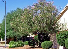 4 Water Conscious Trees For Your Landscape