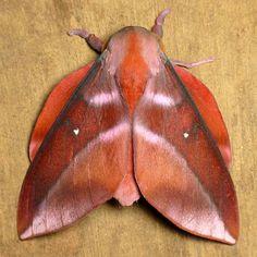 Saturniid Moth, Adeloneivaia or Rachesa sp.?