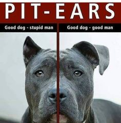 Pitbulls are pure evil... Obviously See More at fb.me/pitloversclub #pitbull #pitbullsofinstagram #pitbulls #pitbulllove #pitbulladvocate #pitbulllife #pitbullsofig #pitbullpuppy #pitbullmom #pitbullmix #pitbullsofficial #pitbullpride #pitbullinstagram #pitbulllover #pitbulllovers #pitbullnation #pitbullgram_ #pitbullterrier #pitbullgram #pitbullfriends #pitbullsarelove #pitbullrescue #pitbullvixens #pitbullove #pitbullproblems #pitbullfamily #pitbullmommy #pitbullsofinsta #pitbullsrule…