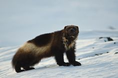 Wolverine (THE BADDEST ANIMAL ON THE PLANET)