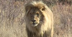 These lions are bred in captivity to be shot and killed, a million-dollar industry that some activists find deplorable. Bears, tigers alligators etc for bragging rights