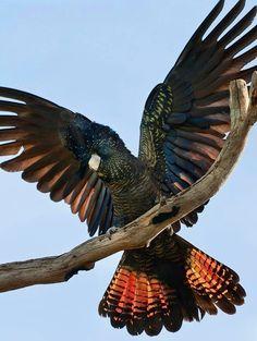 Red-tailed Black cockatoo via Bird's Eye View at www.Facebook.com/aBirdsEyeViewForYou