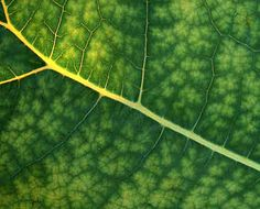 Fractal leaf veins - mathematical genius! They remind me very much of the Mandelbrot set.