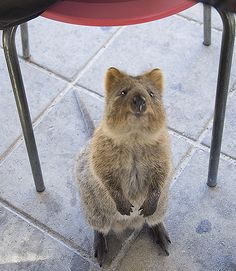You know you're feeling better when your best friend spams you with Quokka pictures. THANK YOU @Annabelle Prange