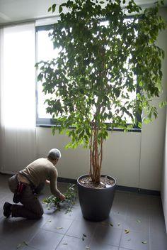 Piccole potature di ficus benjamin. Agridea cura la manutenzione degli arredi verdi per aziende e privati. www.coopagridea.org