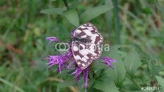 """Laden Sie den lizenzfreien Videoclip """"Butterfly on Flower"""" zum günstigen Preis herunter. Stöbern Sie in unserer Bilddatenbank https://de.fotolia.com/partner/200576682 und finden Sie schnell das perfekte Stockbild/-video. (Schmetterling auf Blume)"""