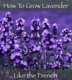 How To Grow Lavender Like The French...http://homestead-and-survival.com/how-to-grow-lavender-like-the-french/
