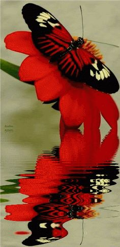 Animated Butterflies, Animated Gif, Reflection, Water Reflections, Insects, Animated Graphics, Animated Gifs, Keefers Photo by Keefers_ |