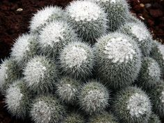 Mammillaria microcarpa, Huntington Library Desert Garden Cactus 036 | Flickr - Photo Sharing!