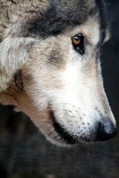 Stunning close-up of wolf
