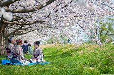 """Des japonaises  pique-niquant sous les """"Cerisiers""""  en fleurs...."""