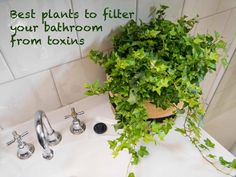 10 Healing Plants That Will Grow Like Crazy Even in Humid, Dimly Lit Bathrooms - Ivy, particularly English Ivy, is one of NASA's top air purifying plants. It can even help you ke -