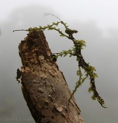 Trychopeplus laciniatus  (Moss Mimic Stick Insect)        If somebody goes to Costa Rica and gets me one
