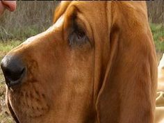 Red Lesson 115  Mythbusters: Bloodhound and Scent : HowStuffWorks
