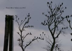 Fraser Valley Bald Eagle Festival occurs the third weekend in Nov. Over 5000 eagles overwintering in Nov 2011