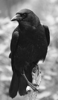 Crow Art, Bird Art, Beautiful Birds, Animals Beautiful, Crow Pictures, Crows Drawing, Raven Bird, Yennefer Of Vengerberg, Raven Tattoo