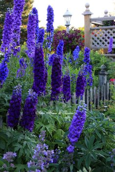 Aiken House & Gardens: In the Garden #delphiniums