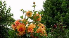 ERNESTO CORTAZAR - SEGUIRE MI VIAJE-SABOR A MI - DAHLIAS FROM NORA'S GARDEN Film, Flowers, Plants, Voyage, Movie, Film Stock, Cinema, Plant, Royal Icing Flowers