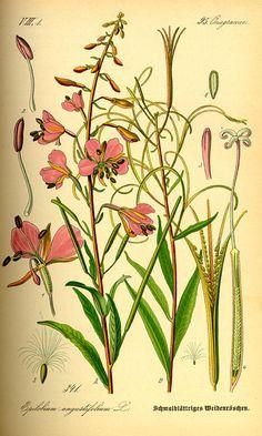 Epilobium angustifolium / Otto Wilhelm Thomé, Flora von Deutschland Österreich und der Schweiz (1885)