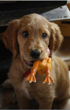 Golden retriever-Irish setter mix. So adorable!!!