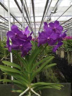 Vanda hang orchidee