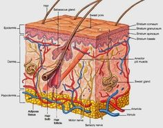 Human skin diagram anatomy and physiology pinterest diagram hair follicles and sebaceous sweat glands ccuart Choice Image
