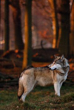 Wolf with warm light by canis.rufus, via Flickr
