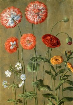Poppies, by Johann Jakob Walther (1600-69). Watercolour. Germany, 17th century.