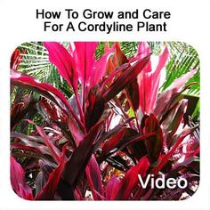 Cordyline (Cordyline fruticosa) can add color for the landscape at your house whether used inside or out. The colors of this plant can range from glossy green to reddish purple to a combo of colors (red, purple, white, or yellow) and this is just the leaves! The plant can produce red... #spr #sum