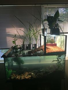 55 gallon tank with 10 gallon basking area for my African Sideneck Turtle